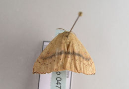Image of <i>Cyclophora puppillaria lilacinipes</i> Schaus & Cockerell 1923