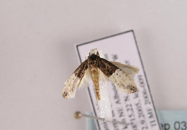 Image of <i>Trichophaga bipartitella</i> (Ragonot 1892)