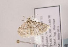 Image of <i>Alucita cancellata</i> Meyrick 1907
