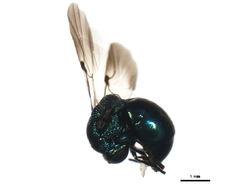 Image of <i>Omalus aeneus</i>