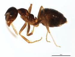 Image of False Honey Ant