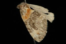 Image of Orange-barred Carpet