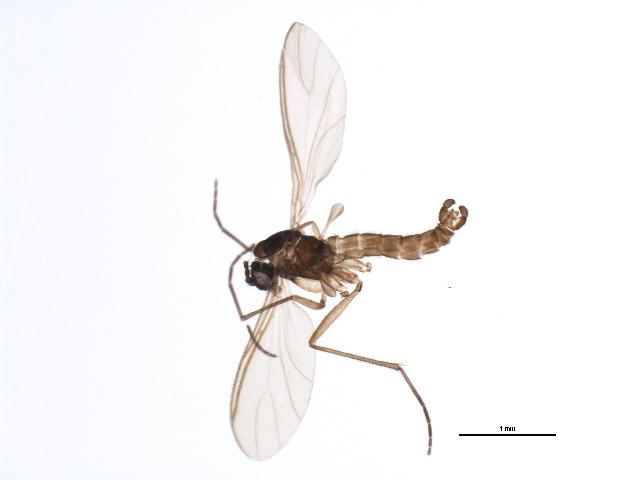 Image of <i>Cratyna uliginosoides</i>