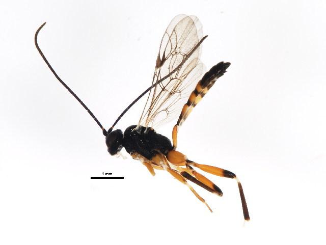 Image of <i>Agrothereutes abbreviatus</i> (Fabricius 1794)