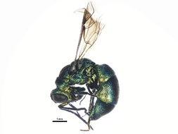 Image of <i>Chrysis cembricola</i>