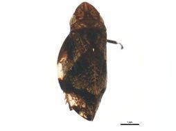 Image of Diamondback Spittlebug