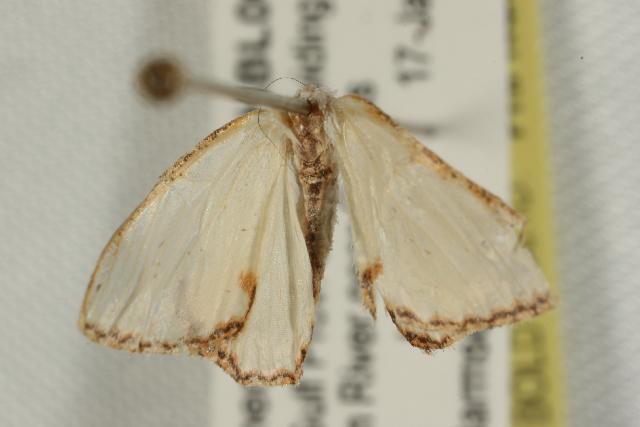 Image of Pyrrhorachis