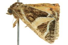 Image of <i>Xenogenes gloriosa</i>