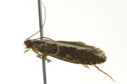 Image of <i>Monopis ethelella</i> (Newman 1856)