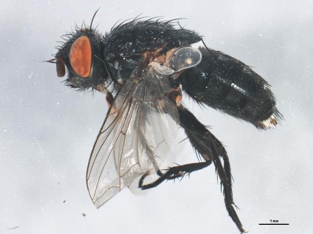 Image of Brachicoma