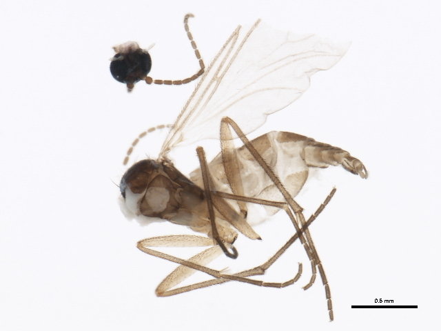 Image of <i>Ctenosciara hyalipennis</i> (Meigen 1804)
