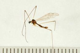 Image of <i><i>Dicranomyia</i></i> (Dicranomyia) <i>chillcotti</i> (Alexander 1968)