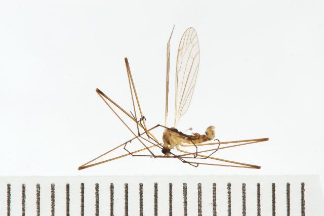 Image of <i>Dicranomyia gibsoni</i>