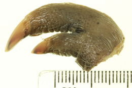 Image of Northern Brown Bandicoot