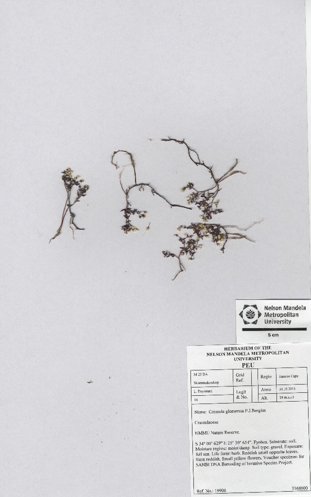 Image of pygmyweed
