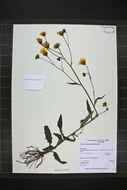 Image of Robinson's hawkweed
