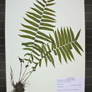 Image of glade fern