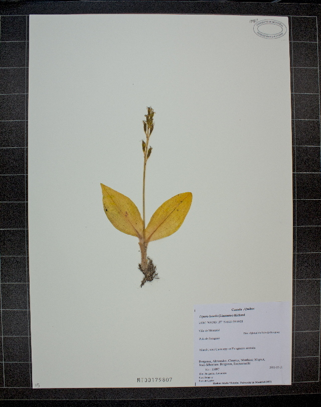 Image of yellow widelip orchid