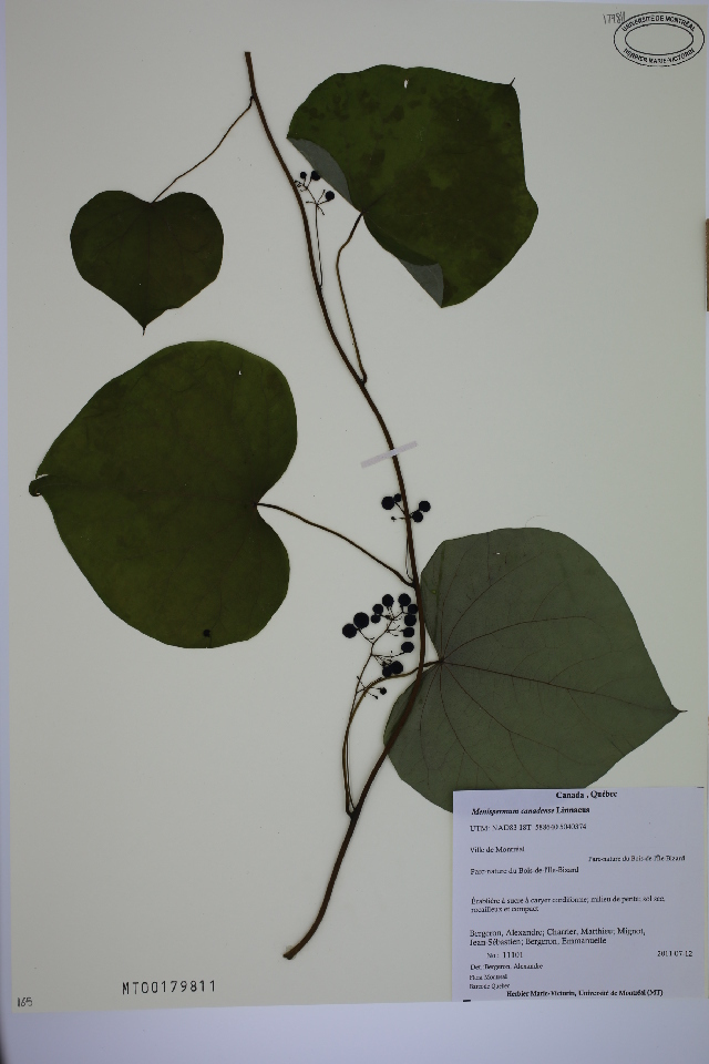 Image of common moonseed
