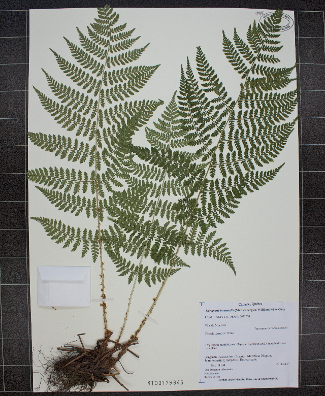 Image of intermediate woodfern