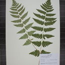 Image of crested woodfern