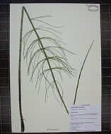 Image of Water Horsetail