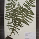 Image of silver false spleenwort