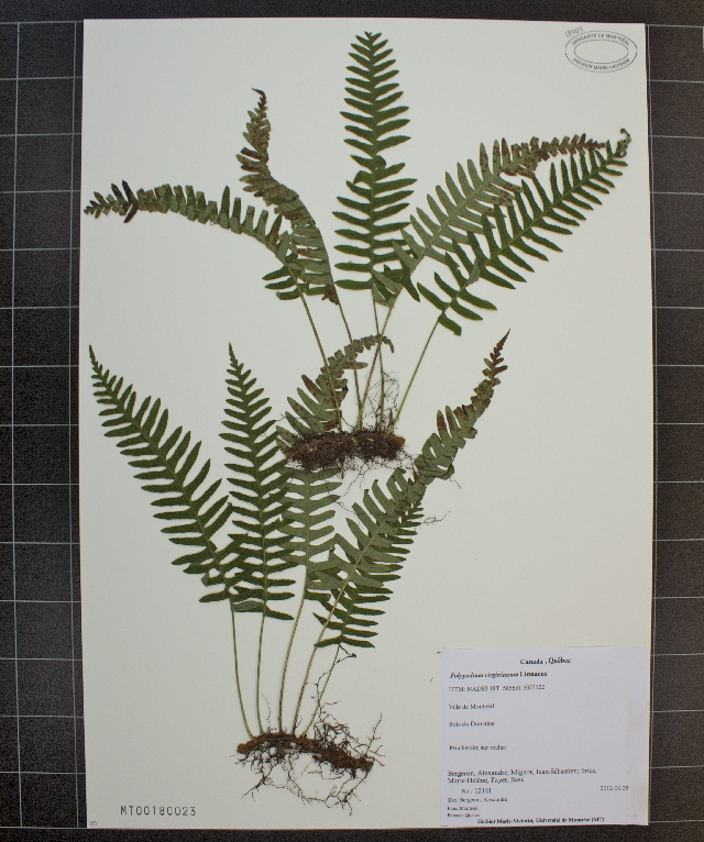 Image of rock polypody