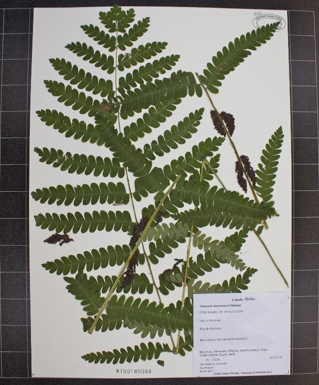 Image of interrupted fern