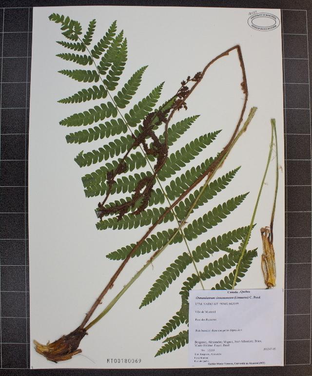 Image of <i>Osmundastrum cinnamomeum</i> (L.) C. Presl