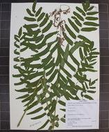 Image of royal ferns