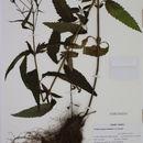 Image of swamp verbena