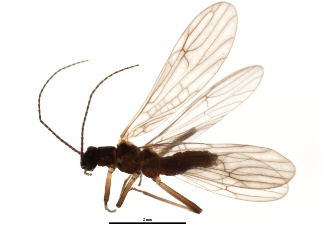 Image of <i>Amphinemura palmeni</i> (Koponen 1917)
