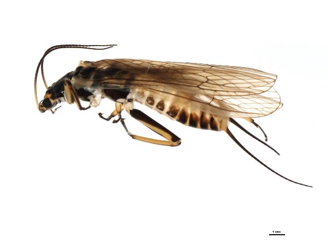 Image of <i>Agnetina capitata</i> (Pictet & F. J. 1841)
