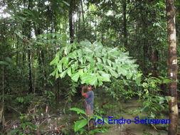 Image of fishtail palm