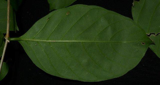 Image of lagerstroemia