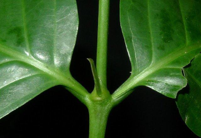 Image of Pyrostria