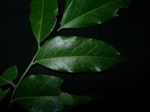 Image of Ganophyllum