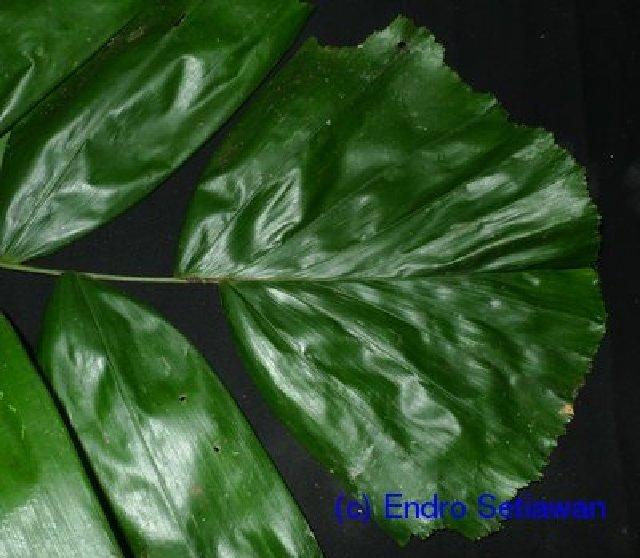 Image of Drymophloeus