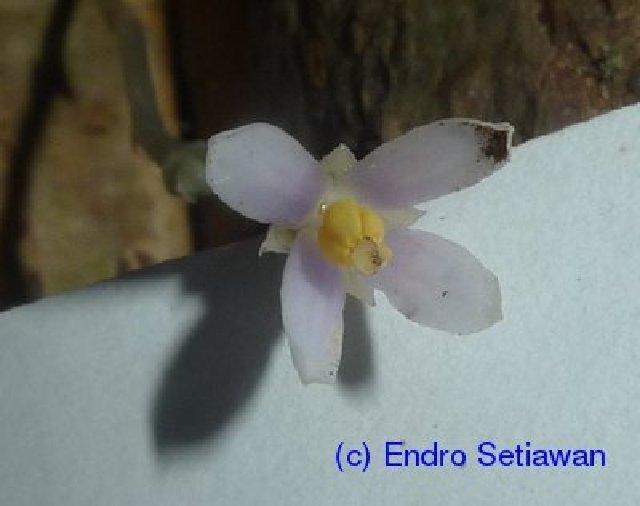 Image of Burmanniaceae