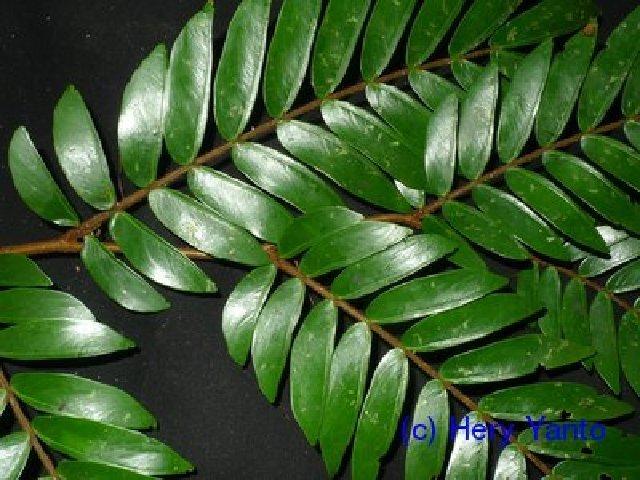 Image of Maniltoa