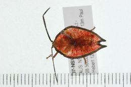 Image of <i><i>Lyramorpha</i></i> (Lyramorpha) <i>rosea</i> Westwood 1837