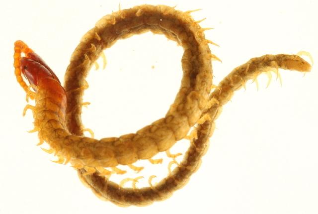 Image of Mecistocephalidae