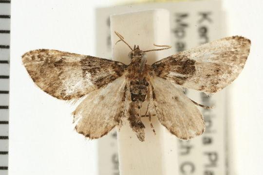 Image of <i>Eupithecia orbaria</i> Swinhoe 1904