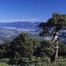 Image of <i>Pinus <i>montezumae</i></i> var. montezumae
