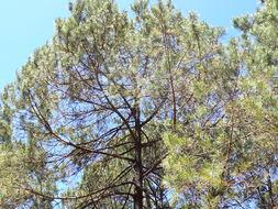 Image of Herrera's Pine