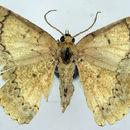 Image of Epipristis