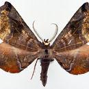 Image of <i>Palaeodoxa subignea</i> Warren 1907