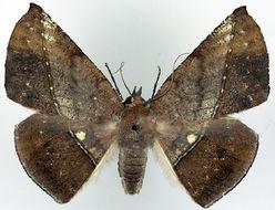 Image of <i>Sarcinodes subfulvida ab</i>