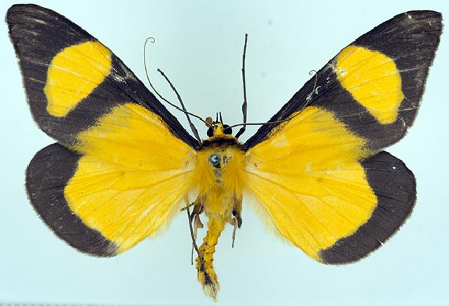 Image of <i>Celerena mitis melanoprora</i> Prout 1926